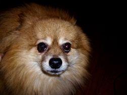 Simmy - Pomeranian